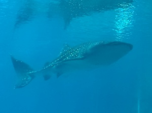 The Georgia Aquarium houses four whale sharks ranging in size from about 18 to 30 feet.  I had the opportunity to scuba with these amazing creatures and they even touched me.  I will chronicle my dive in a post next Friday.