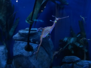 To me, seeing weedy sea dragons are always a highlight of any aquarium visit. They are so unusual looking.