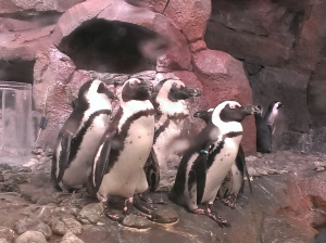 Speaking of watching things all day, I love penguins.  The aquarium has a pretty large penguin exhibit.  These guys were just hanging out, but there were plenty swimming around as well.