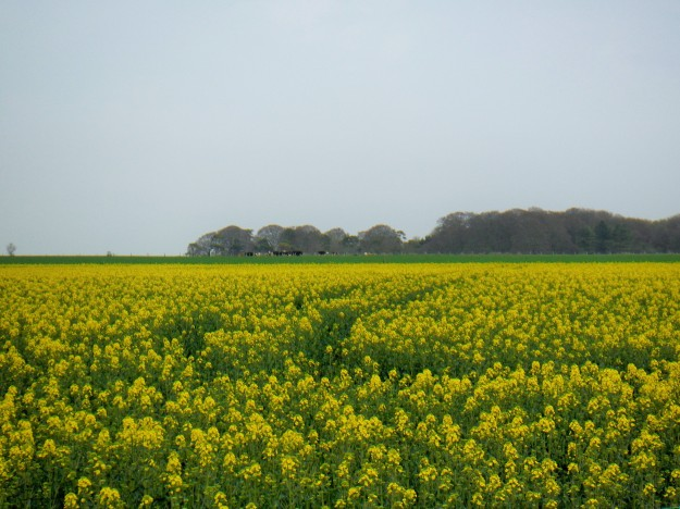This isn't really a tourist thing, but I had to take a photo of the rapeseed fields, which were in bloom and everywhere. For those that don't know, rapeseed is what makes canola oil.