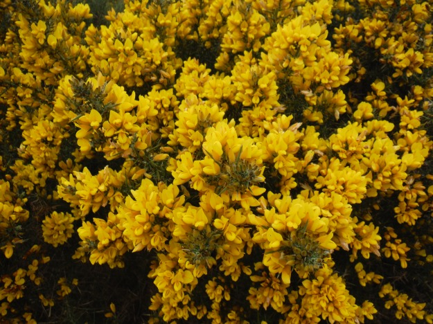 "While not ""officially"" part of the tour, I had to take a photo of the gorse or whin, which was everywhere and was in full bloom coating everything in these yellow flowers. While thorny, it is worth getting up close. Those flowers smell strongly of coconut!"