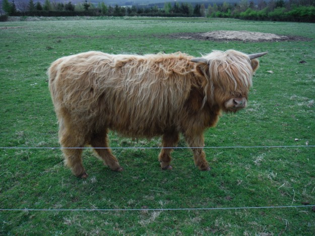 The lovely thing about having a private guided tour is that one's guide will detour so that you can see what you want. I made a request to see Highland Cattle. I'd seen photos, but I wanted to see one in person! As you can see, he obliged swimmingly.